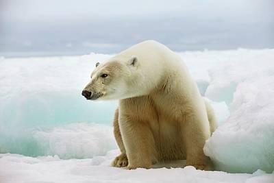 Polar Bear Sitting On A Ice Floe Art Print