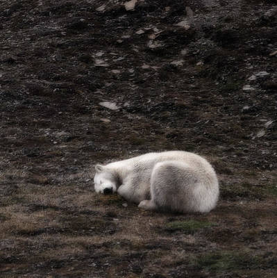 Bears Island Photograph - Polar Bear Sleeping, Spitsbergen by Panoramic Images