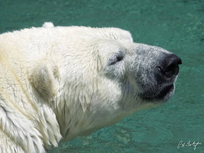 Polar Bear Sniff Art Print by Phill Doherty