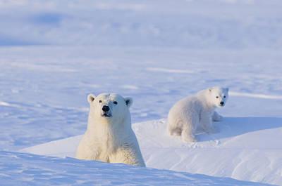 Nanook Photograph - Polar Bear Sow With Spring Cub Emerge by Steven Kazlowski