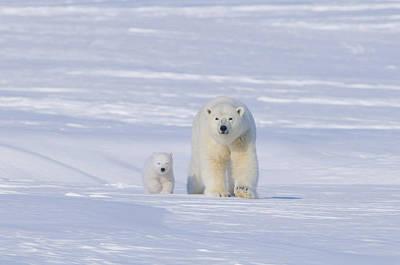 Nanook Photograph - Polar Bear Sow With Spring Cub by Steven Kazlowski