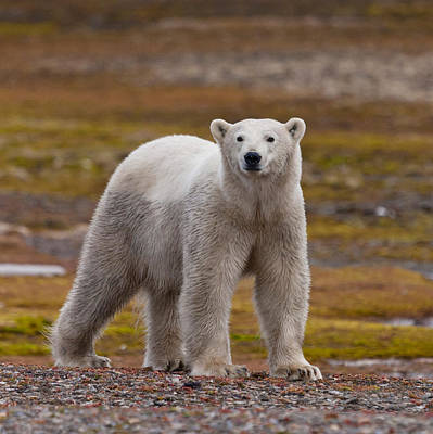 Polar Bear, Spitsbergen Island Art Print by Panoramic Images