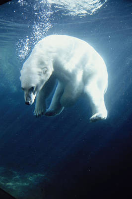 Polar Bear Photograph - Polar Bear Swimming Underwater Alaska by Steven Kazlowski