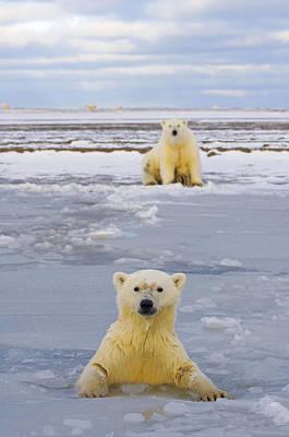 Nanook Photograph - Polar Bear Swims In Forming Pack Ice by Steven Kazlowski