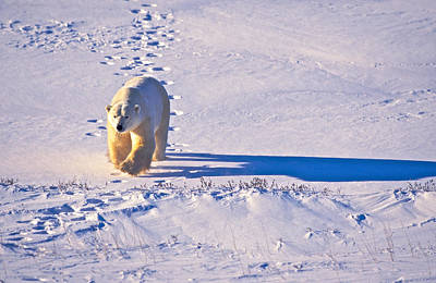 Photograph - Polar Bear Tracks by Randy Green