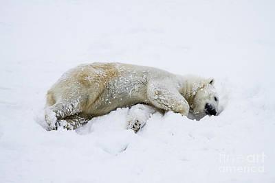 polar bear Ursus maritimus Art Print