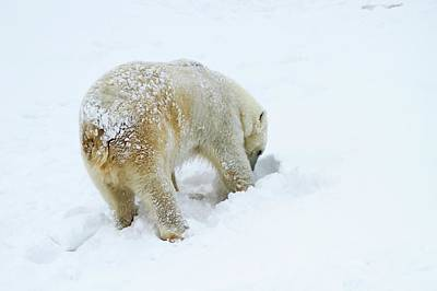 Polar Bear (ursus Maritimus) Art Print by Photostock-israel