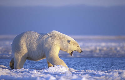 Winter Photograph - Polar Bear Walking On Pack Ice Beaufort by Steven Kazlowski