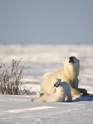 Photograph - Polar Bear Watches Cubs Play by Richard Berry