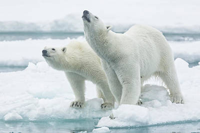 Polar Bears, Mother And Son Art Print