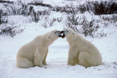 Photograph - Polar Bears Sparring by Francois Gohier