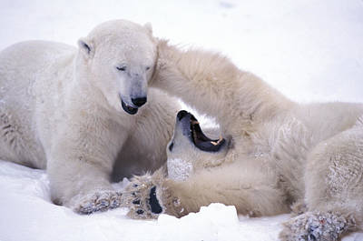 Photograph - Polar Bears Sparring by Randy Green