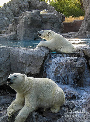Photograph - Polar Bears by Steven Ralser