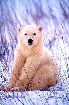 Photograph - Polar Cub by Diane Kurtz