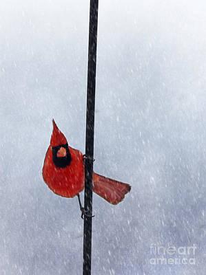 Cardinals. Wildlife. Nature Photograph - Pole Dancing Cardinal by Darren Fisher