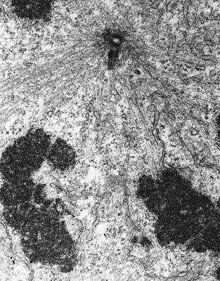 Mitotic Spindle Photograph - Pole Of Mitotic Spindle Tem by David M. Phillips