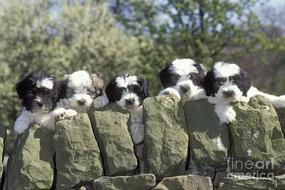 Polish Lowland Sheepdog Puppies Print by John Daniels