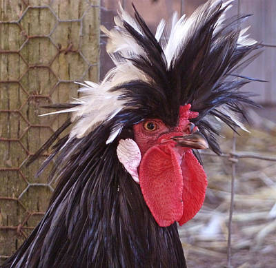 Polish Rooster Art Print