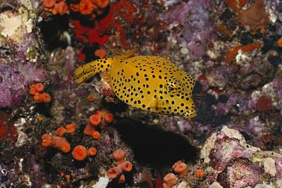 Trunkfish Wall Art - Photograph - Polka-dot Boxfish Ostracion Cubicus by FREDERICK R McCONNAUGHEY