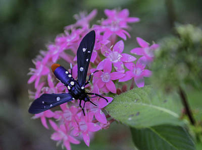 Photograph - Polka Dot Wasp Moth by Karen Stephenson