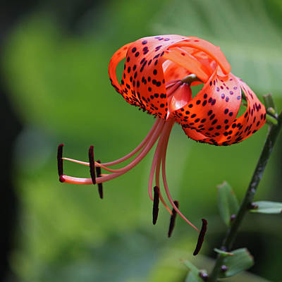 Photograph - Tiger Lily II by Suzanne Gaff