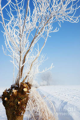 Photograph - Pollard Willow In A Snowy Environment by Nick  Biemans