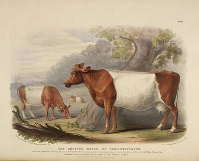 Oxen Photograph - Polled Suffolk Breed by British Library
