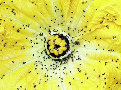Maxima Wall Art - Photograph - Pollen Beetles On Pumpkin Flower by Dr Jeremy Burgess/science Photo Library