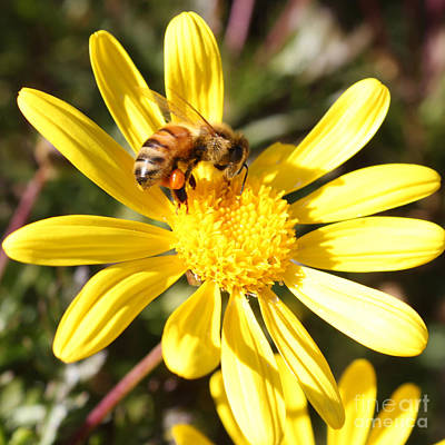 Bee On Flower Photograph - Pollen-laden Bee On Yellow Daisy by Carol Groenen