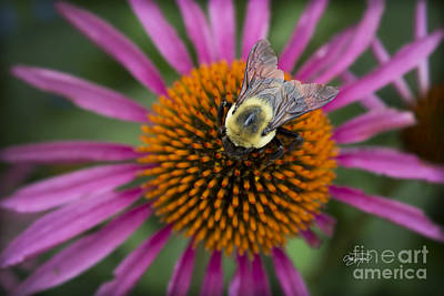 Photograph - Pollen Patrol by Cris Hayes