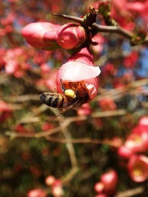 Beth Dennis Photograph - Pollen Worker by Beth Dennis