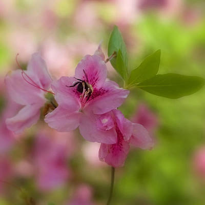 Photograph - Pollinating Azalea by Joann Vitali