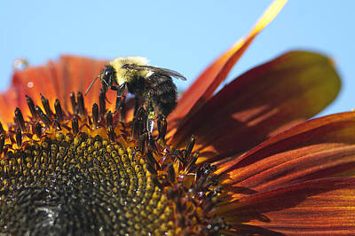 Photograph - Pollinating Sunflower Seeds by Sharon Talson