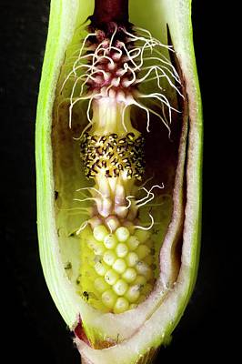 Pollination Mechanism Of Arum Apulum Art Print by Dr Jeremy Burgess