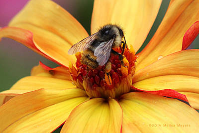 Photograph - Pollinator  by Melisa Meyers