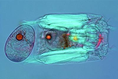 Microscopic Photograph - Polyarthra Rotifer by Marek Mis