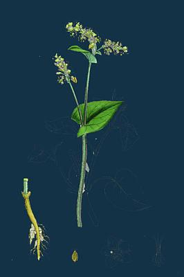 Botanica Drawing - Polygonum Fagopyrum Common Buckwheat by English School