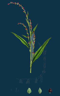 Pepper Drawing - Polygonum Hydropiper Water Pepper by English School