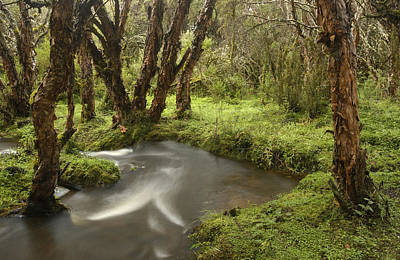 Rosaceae Photograph - Polylepis Forest And Stream Ecuador by Pete Oxford