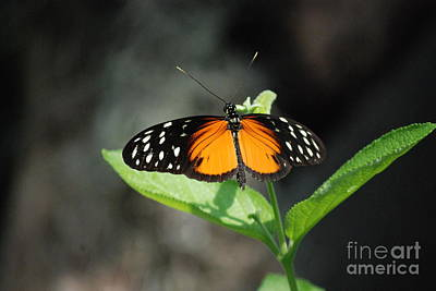 Photograph - Polymorphic Longwing Butterfly by Mark McReynolds