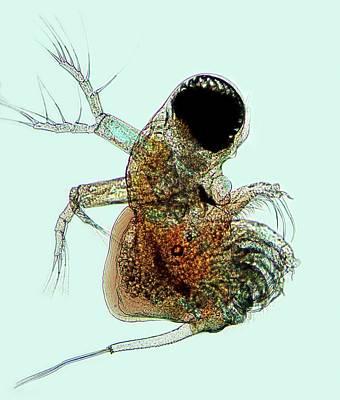 Polyphemus Crustacean Art Print by Marek Mis