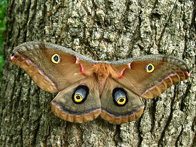 Art Print featuring the photograph Polyphemus Moth by William Tanneberger