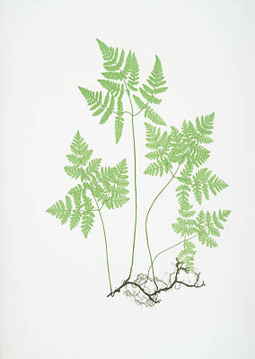 Vegetation Drawing - Polypodium Dryopteris by Artokoloro