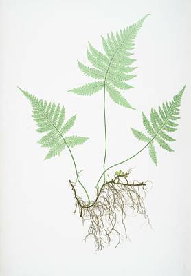 Polypodium Phegopteris Art Print