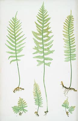 Polypodium Vulgare A,b,c,d, P. Vulgare Acutum E Art Print
