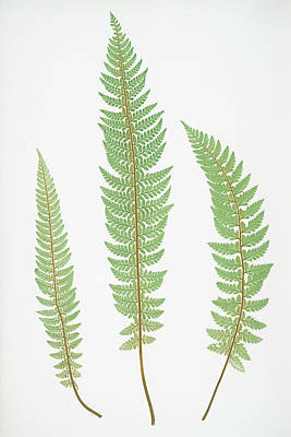 Polystichum Aculeatum Lobatum Art Print
