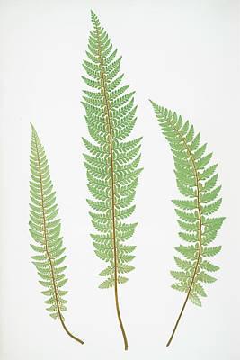 Prickly Drawing - Polystichum Aculeatum Lobatum by Artokoloro