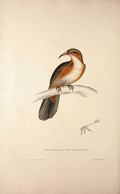 Pakistan Drawing - Pomatorhinus Erythrogenys, Rusty-cheeked Scimitar Babbler by Quint Lox