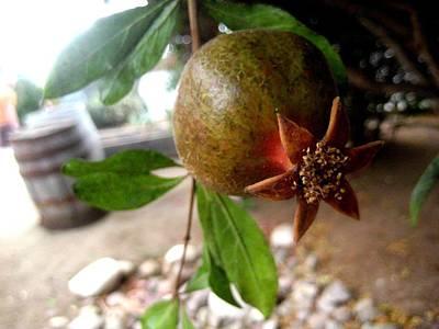 Photograph - Pomegranate Flower by Melissa McCrann