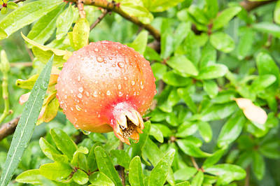 Lively Photograph - Pomegranate by Tom Gowanlock